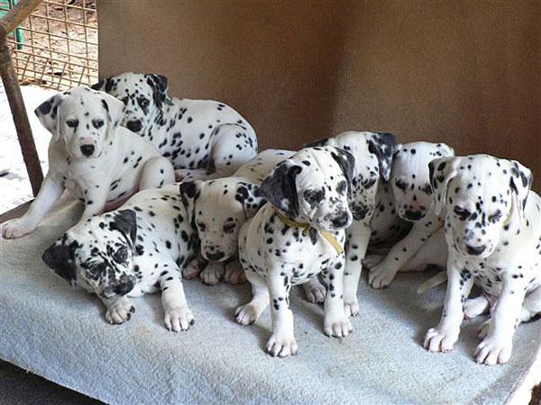Whytewood Dalmatians